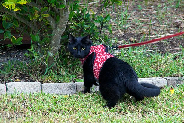 schwarze katze spaziergang auf leine - katzengeschirr stock-fotos und bilder