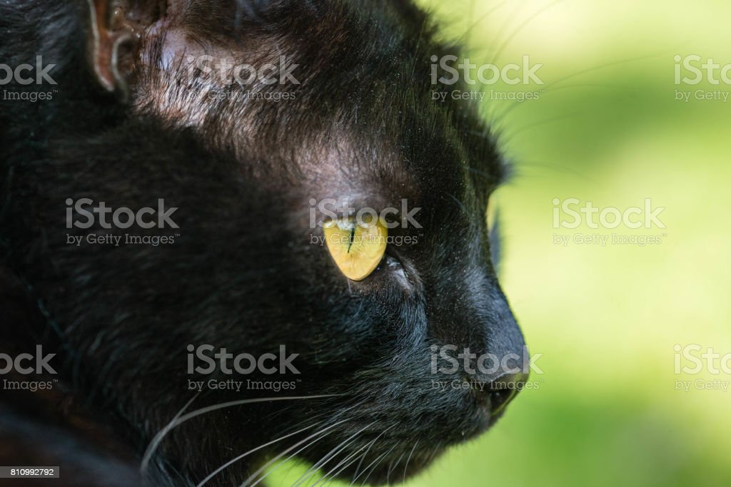 A black cat watching in a garden stock photo