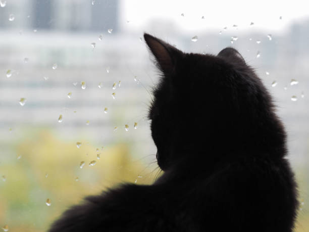 Black cat watching the raindrops on the glass picture id985768788?b=1&k=6&m=985768788&s=612x612&w=0&h=ragu8qb28a atktikc8qzxlh9o2twhdtw2unrgkz3t8=