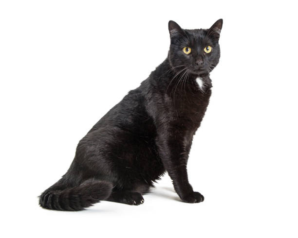 Black cat white patch sitting side picture id1047894260?b=1&k=6&m=1047894260&s=612x612&w=0&h=vz w7snibylqgyrzi16lv9zju62a6anxc4pjy9zabrw=