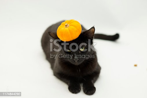 Cute black short haired cat with an orange Halloween Pumpkin on her head on a white background.