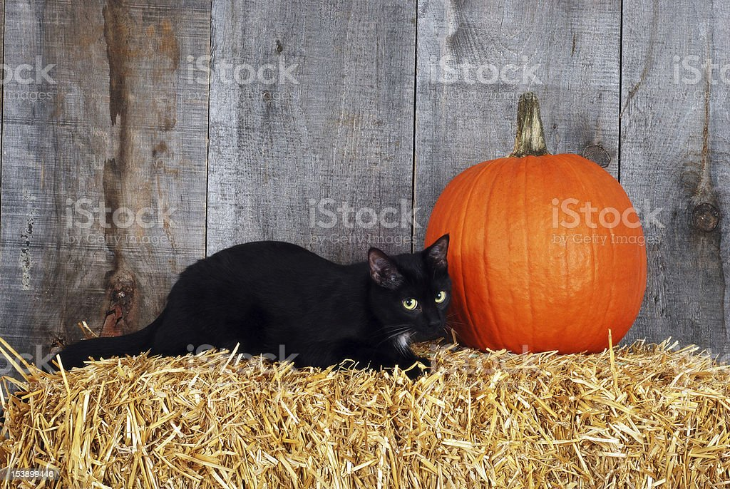 black cat with a pumpkin stock photo
