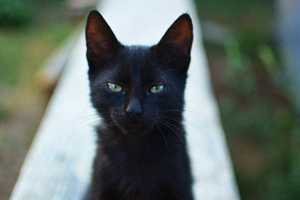 Black cat with green eyes looking at camera picture id625757304?b=1&k=6&m=625757304&s=612x612&w=0&h=ncqtuhyftzimqlepijmtvuchrihsntkrptf8cgojk1y=