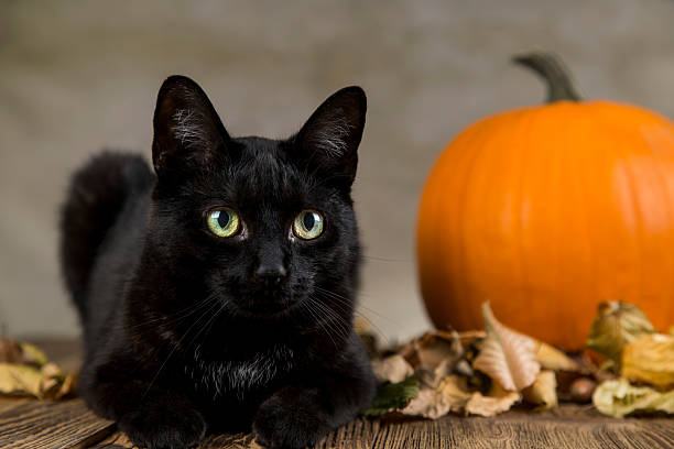 Black cat with pumpkin as a symbol of halloween picture id612715708?b=1&k=6&m=612715708&s=612x612&w=0&h=a3ctq2jvd8acebq037 g1agmbuuwzjp5wnlhjxslysm=