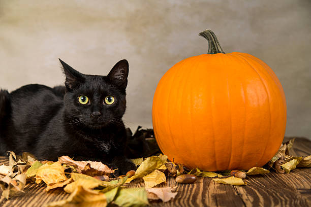 Black cat with pumpkin as a symbol of halloween picture id612715806?b=1&k=6&m=612715806&s=612x612&w=0&h=qzua02syxuwlqp7wwv0ncbptg 1 b0xvpvvxobekza8=