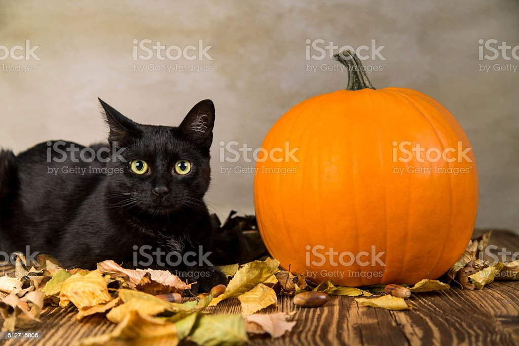 Black cat with pumpkin as a symbol of Halloween stock photo