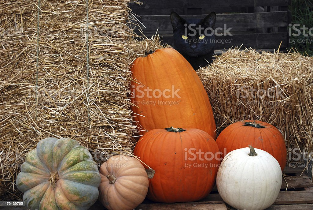 black cat with pumpkins royalty-free stock photo