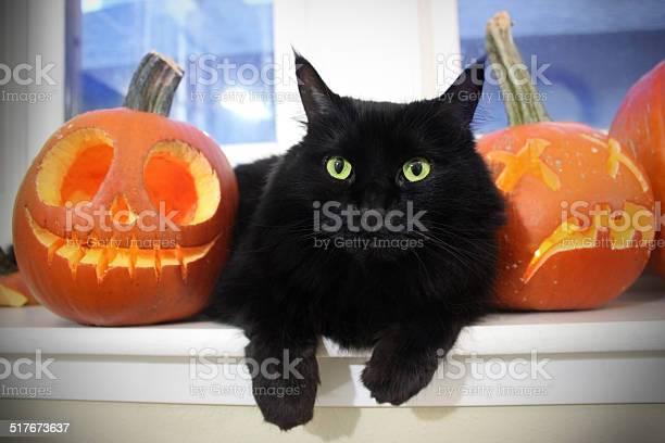Black cat with pumpkins picture id517673637?b=1&k=6&m=517673637&s=612x612&h=4llwcskbnmvucyq5jqrjh tcehns7kstf8jjqxq21ku=