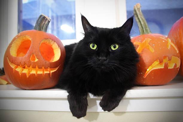 Black cat with pumpkins picture id517673637?b=1&k=6&m=517673637&s=612x612&w=0&h=fdb cb5tl5bciueqmrbf6q0somlofbscl7bikj w4kk=