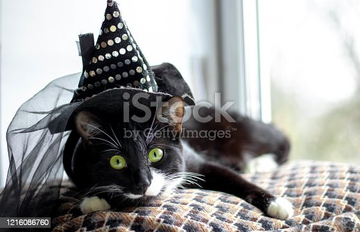 Black cat with witch hat for halloween. isolated on white background.