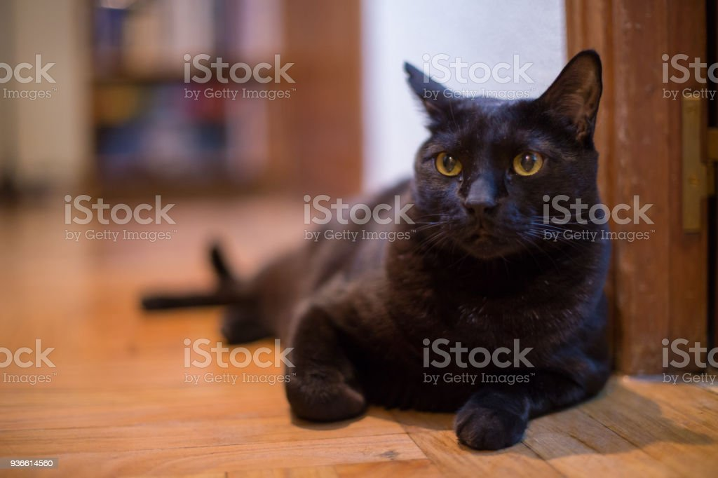 Black Cat With Yellow Eyes At Home Stock Photo - Download