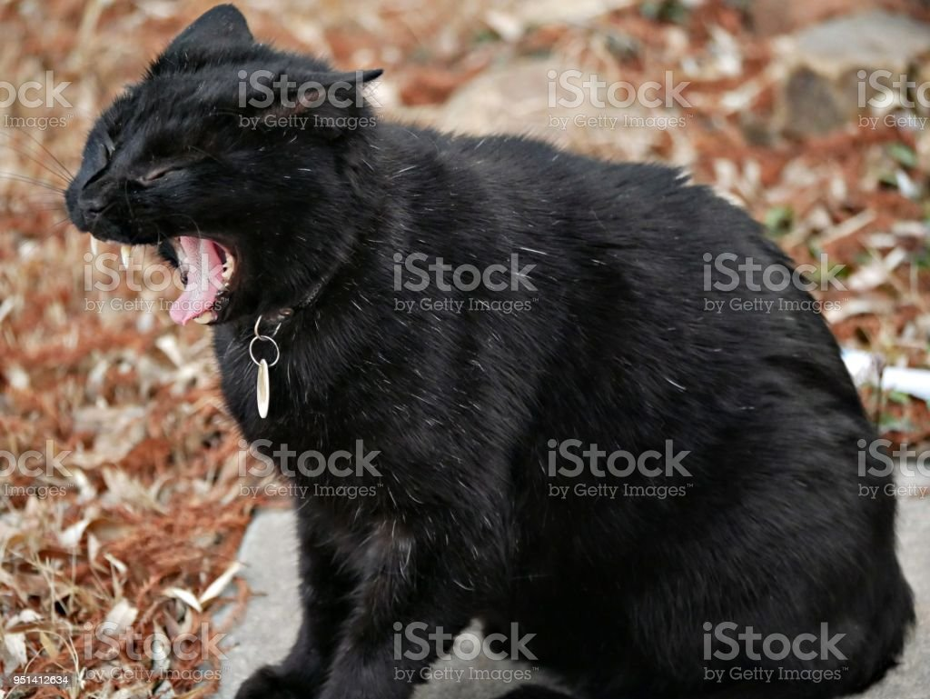 Black Cat Yawning Stock Photo More Pictures Of Activity Istock