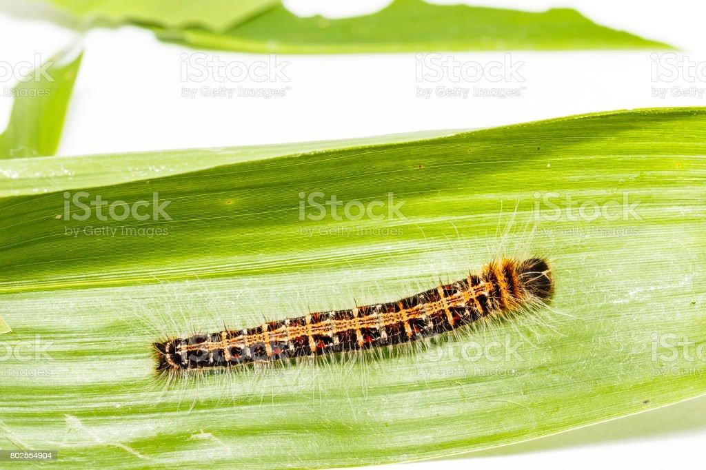 Black caterpillar of common duffer butterfly (Discophota sondaica Boisduval) stock photo
