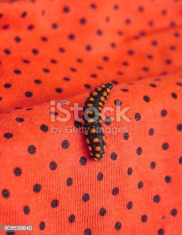 Black caterpillar with red dots on a red fabric with black dots