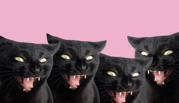 Black cats with open mouth and fangs cats are vampires halloween picture id1182470684?b=1&k=6&m=1182470684&s=612x612&w=0&h=akzjq5yvuqopqjmz1uhrgm7s97 btgf7 rwkqk92 xo=