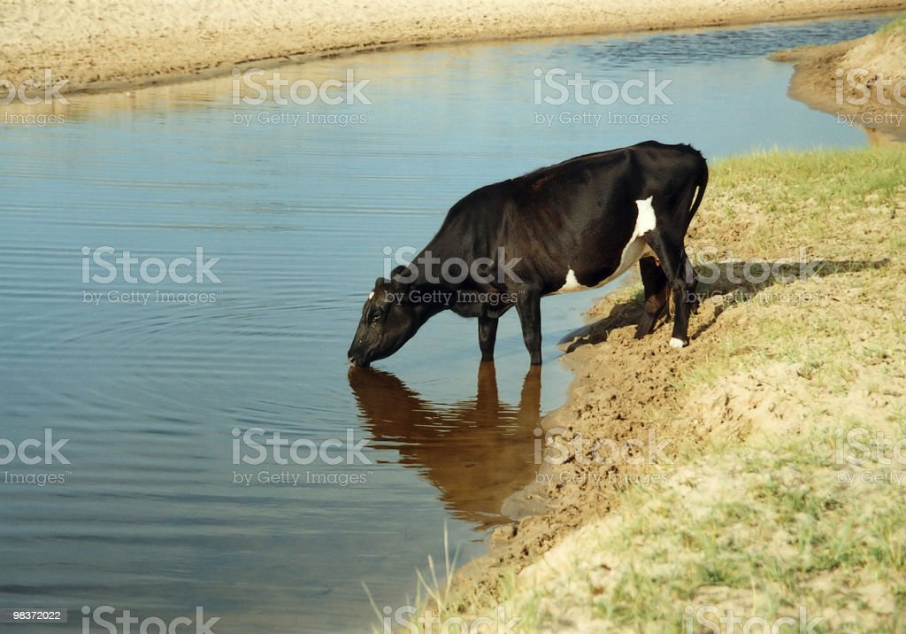 black cattle royalty-free stock photo