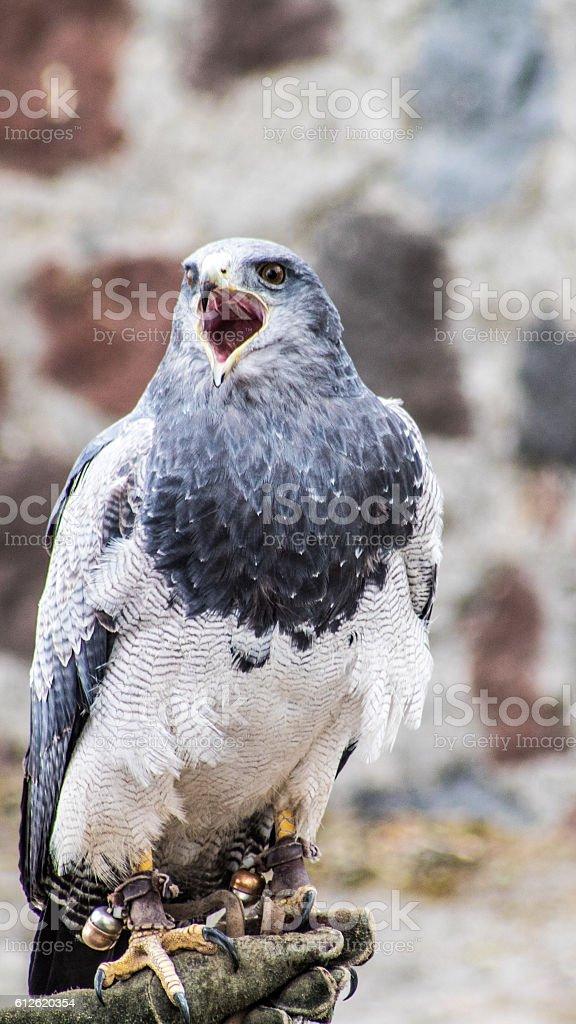 Black chested buzzard eagle - foto de acervo