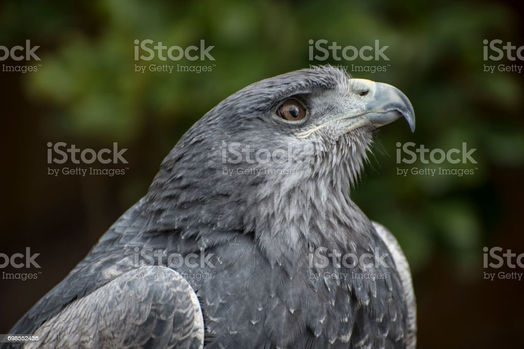 Black Eagle-peito de urubu - foto de acervo