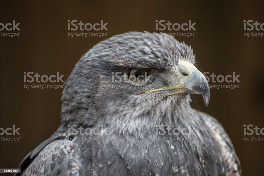 Águia-chilena - foto de acervo