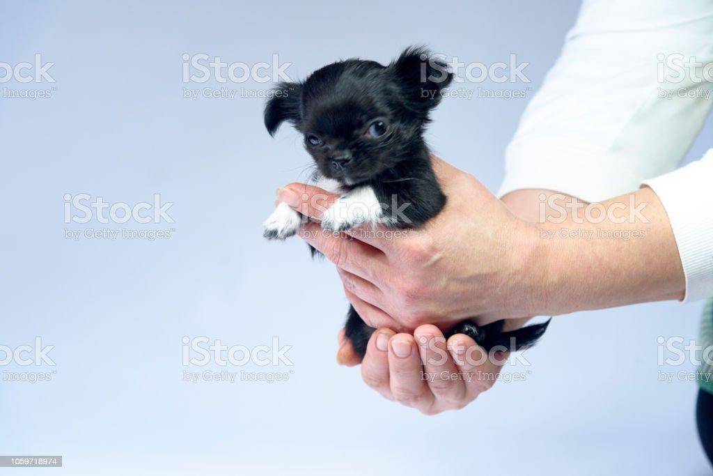 Schwarze Chihuahua Welpen Auf Weissem Hintergrund Stockfoto Und