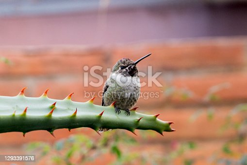 This is a black chinned hummingbird resting on a spiny succulent plant.  This shot was taken near Tucson, Arizona during December.