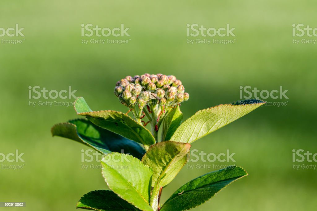Black chokeberry blossom stock photo