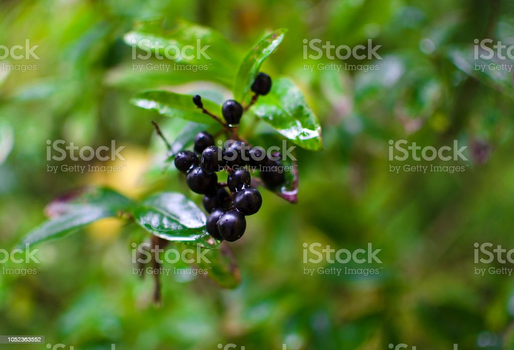 Black chokeberry. Branches of black chokeberry in the garden – zdjęcie