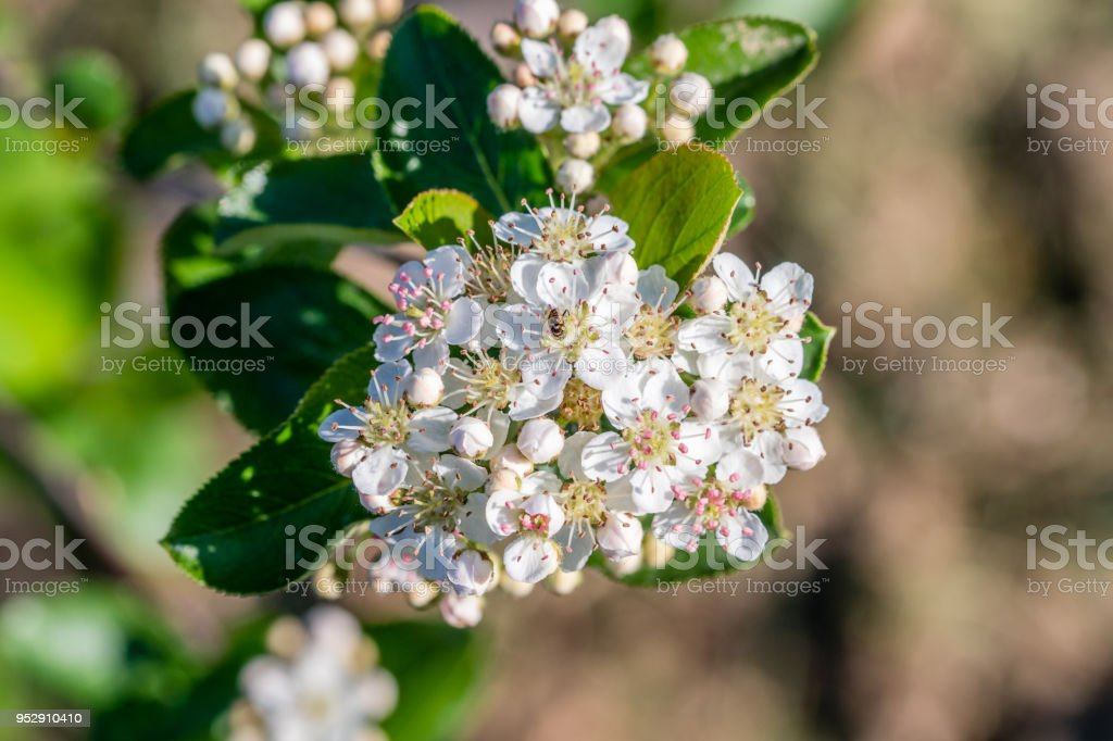 Black chokeberry flower. Closeup. stock photo