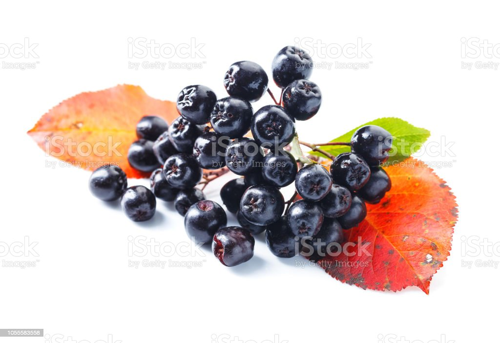 Black chokeberry isolated on white background. – zdjęcie