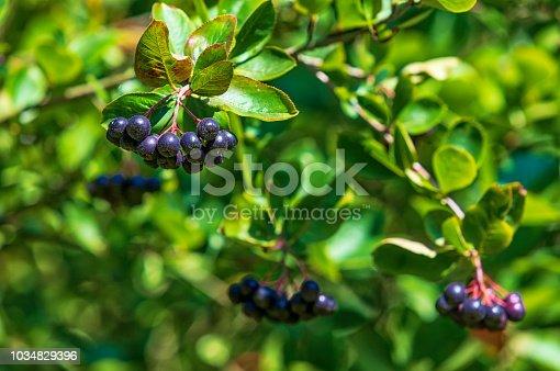 growing black chokeberry (aronia) in the small garden