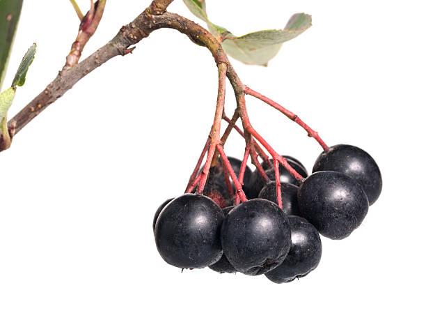 Cтоковое фото Черный Chokeberry