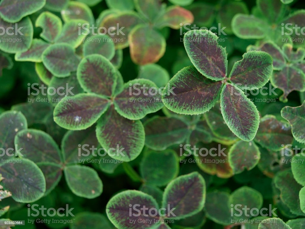 Black clover pentaphyllum trifolium repens green plant with four leaf stock photo