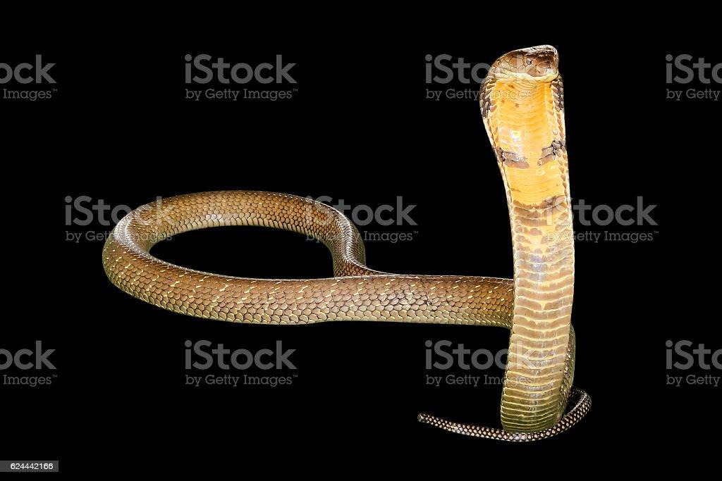 black Cobra Snake stock photo