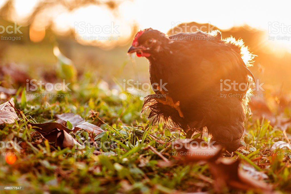 Black cochin rooster stock photo