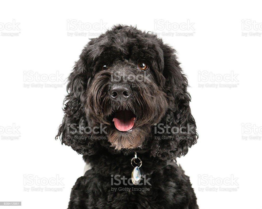 Black Cockapoo stock photo