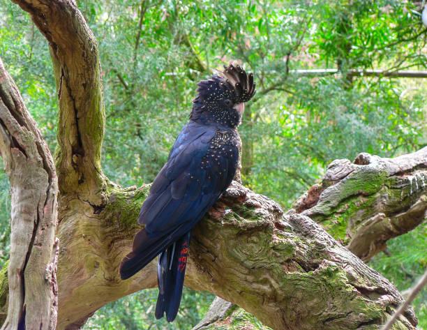 Black Cockatoo stock photo