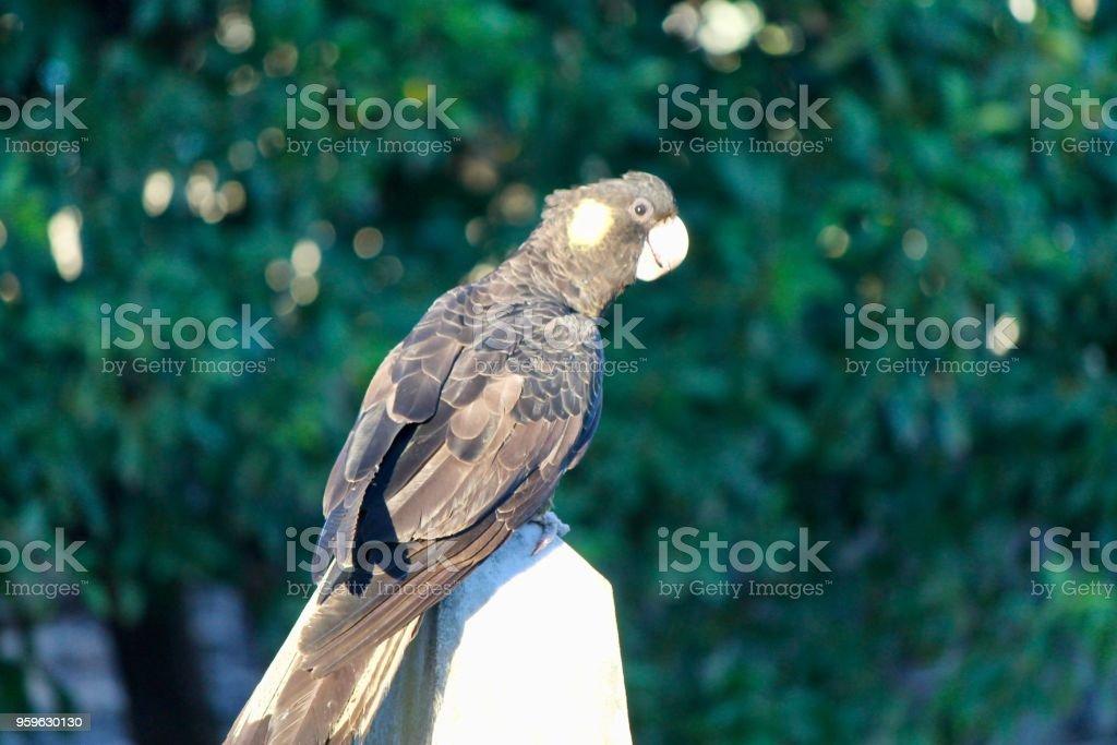 Cacatúa negra 1 - Foto de stock de Ala de animal libre de derechos