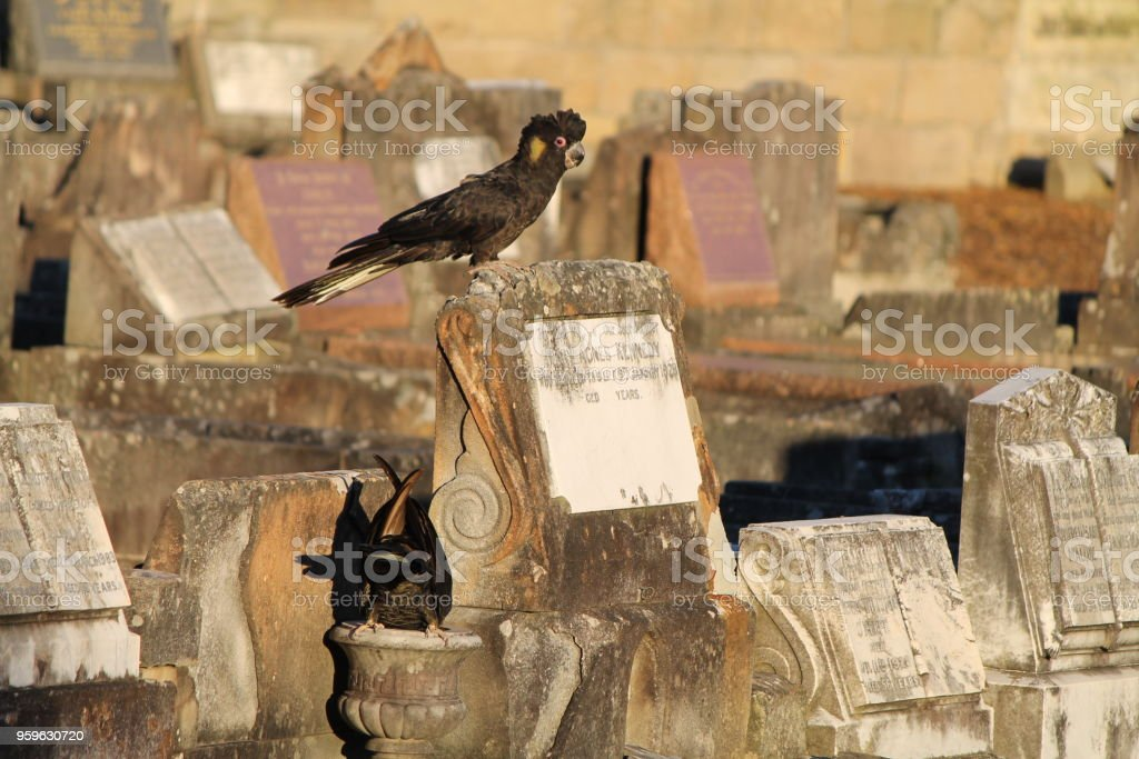 2 cacatúas negras - Foto de stock de Animal libre de derechos