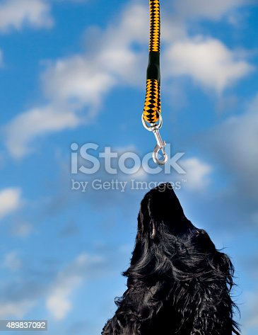 black cocker spaniel is looking at the leash over its head