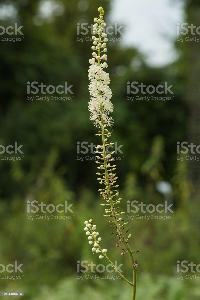black cohosh - Cimicifuga racemosa stock photo