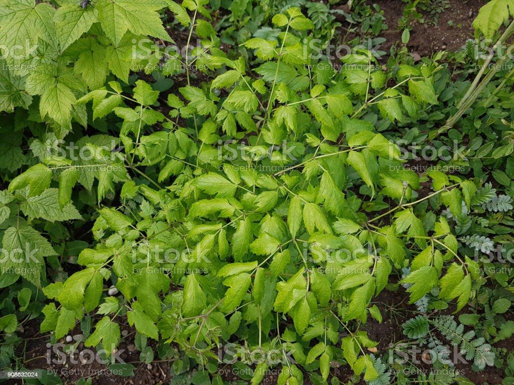 Black cohosh, Cimicifuga, racemosa stock photo