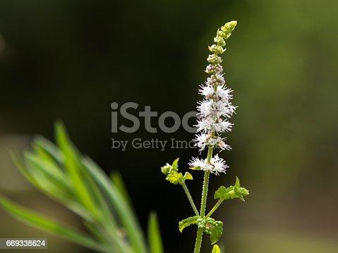Black Cohosh: White Efflorescence