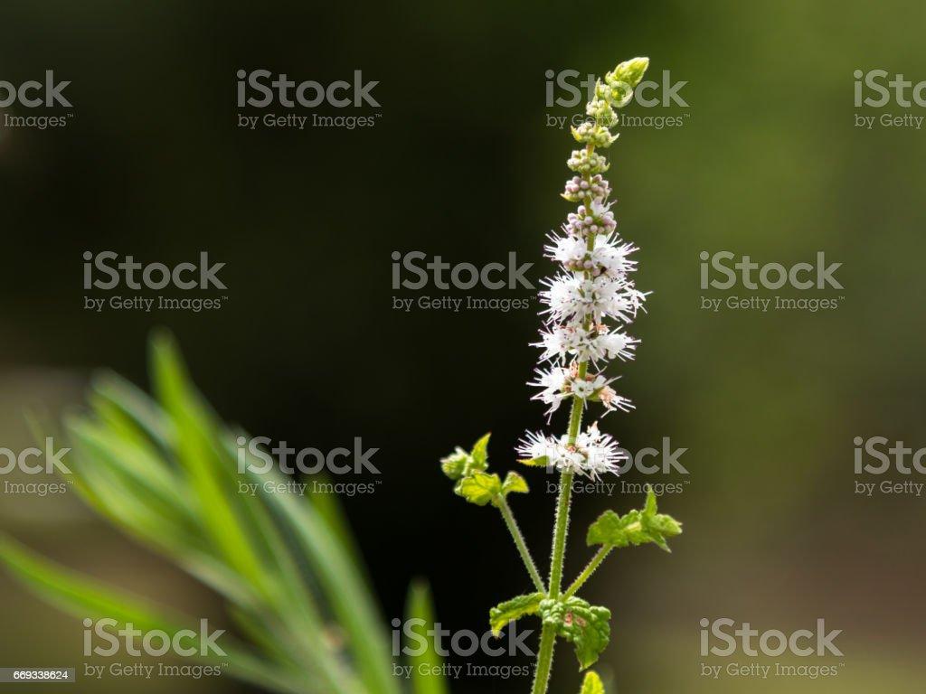 Black Cohosh: White Efflorescence stock photo