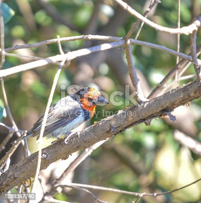 Black collared Barbet perched on a tree in Johannesburg