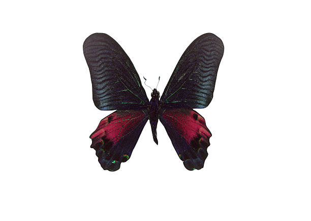 Black Color Butterfly. Isolated on white background stock photo
