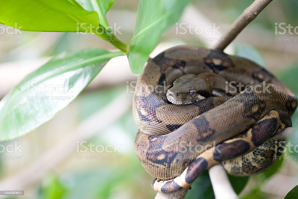 Black Common Boa, Damas Estuary. Costa Rica stock photo