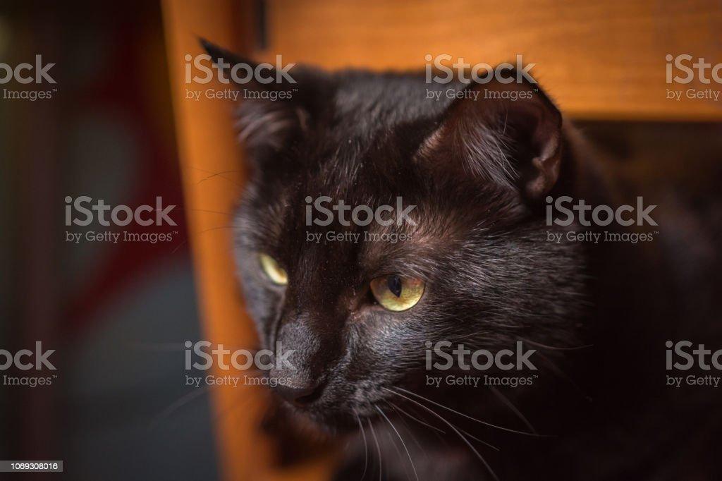 Común macho gato negro - foto de acervo