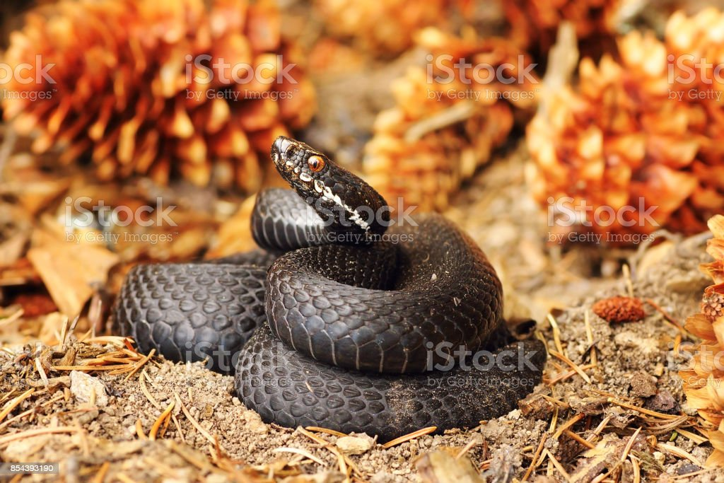 black common viper on forest ground stock photo