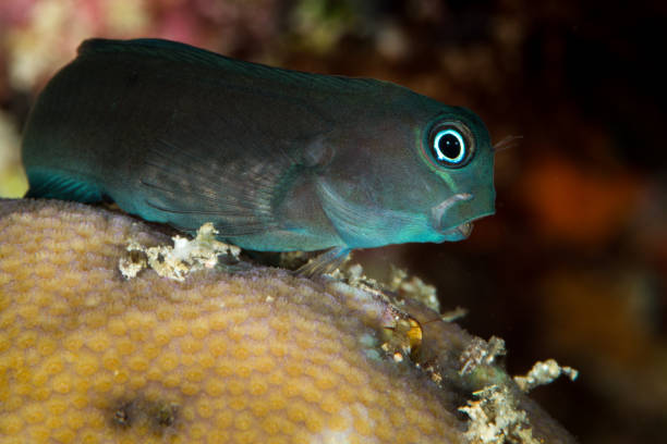 black coralblenny fish stock photo