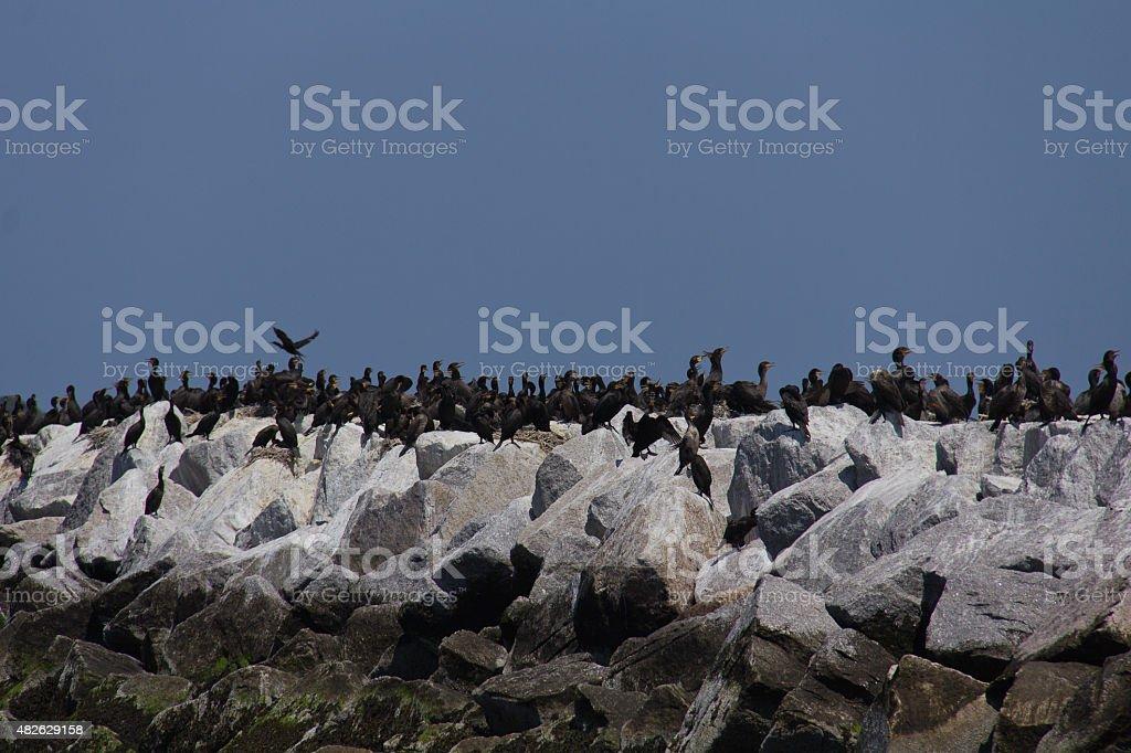 Black cormorant stock photo